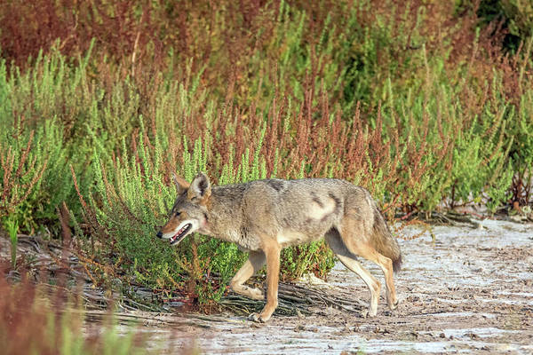 Photograph - Coyote 6387-061319 by Tam Ryan
