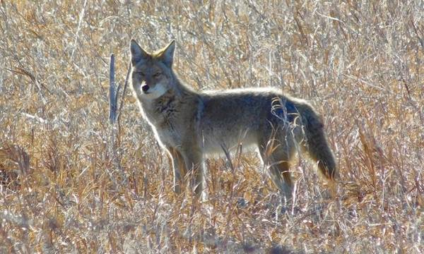 Photograph - Coyote by Dan Miller