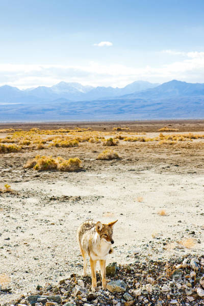 Wall Art - Photograph - Coyote, Death Valley National Park by Richard Semik