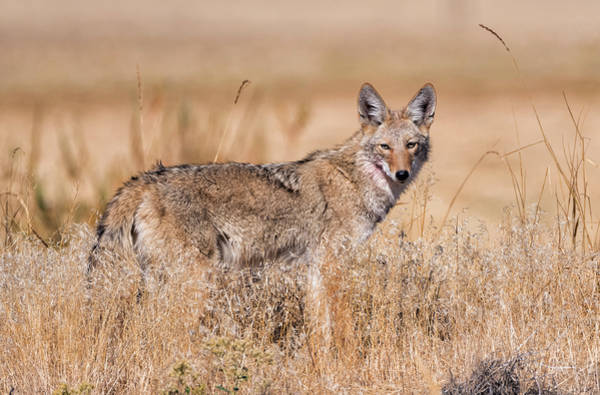Photograph - Coyote In The Morning Light by Loree Johnson