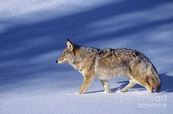 Photograph - Coyote In Winter Wyoming by Dave Welling