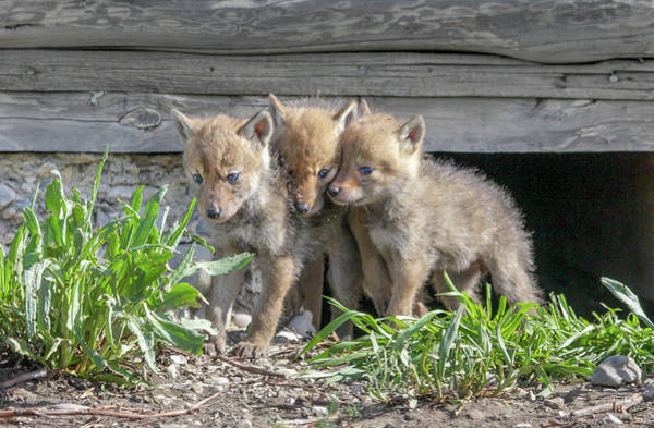 Photograph - Coyote Pups by Ronnie and Frances Howard