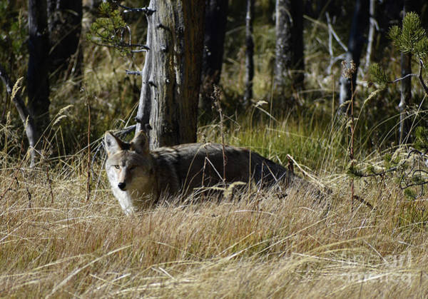 Photograph - Coyote Seeks by Rose De Dan