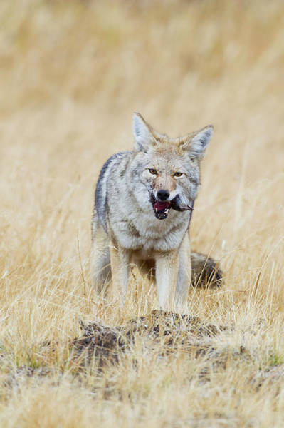 Wall Art - Photograph - Coyote, Successful Hunt by Ken Archer