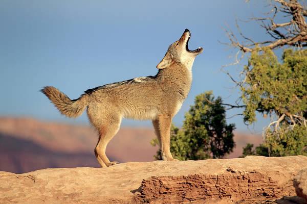 Howling Photograph - Coyote by Tier Und Naturfotografie J Und C Sohns