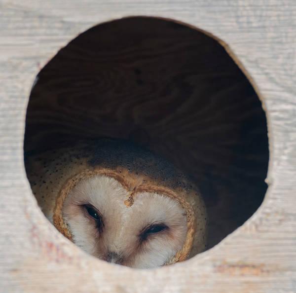 Photograph - Cozy Barn Owl by Loree Johnson