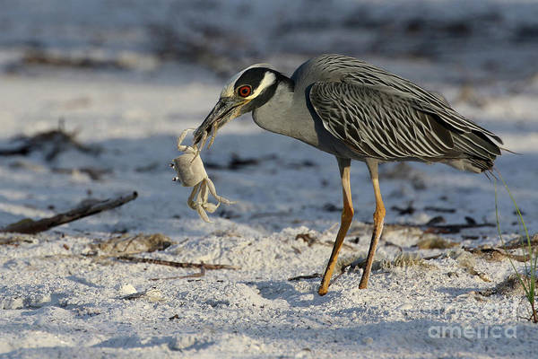 Photograph - Crab For Breakfast by Meg Rousher