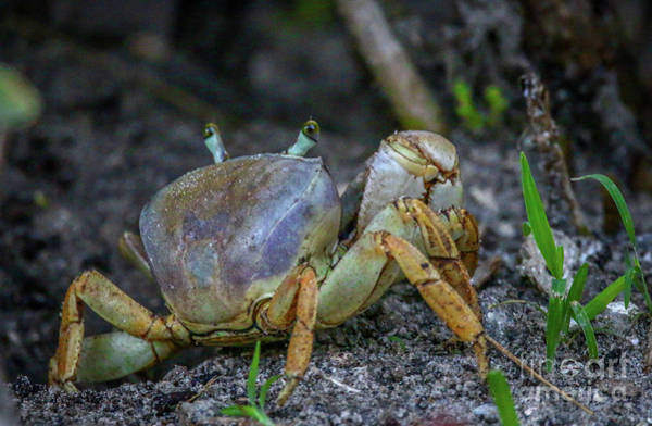 Photograph - Crab With Rear View Vision by Tom Claud