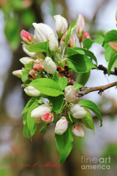 Photograph - Crabapple Blossom Pink by Donna L Munro
