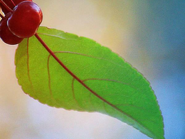 Wall Art - Photograph - Crabapple Leaf by Joan Han