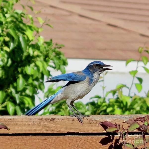 Wall Art - Photograph - Crabby Blue Jay by Phyllis Kaltenbach