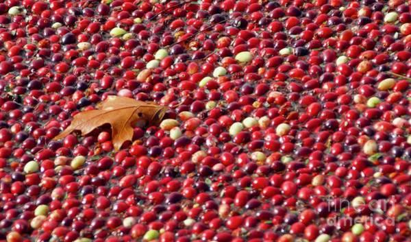 Photograph - Cranberry Season by Amazing Jules