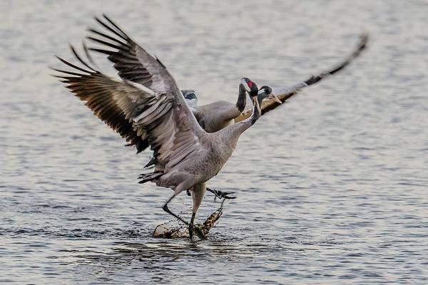 Wall Art - Photograph - Crane Attacking Crane by Morris Finkelstein