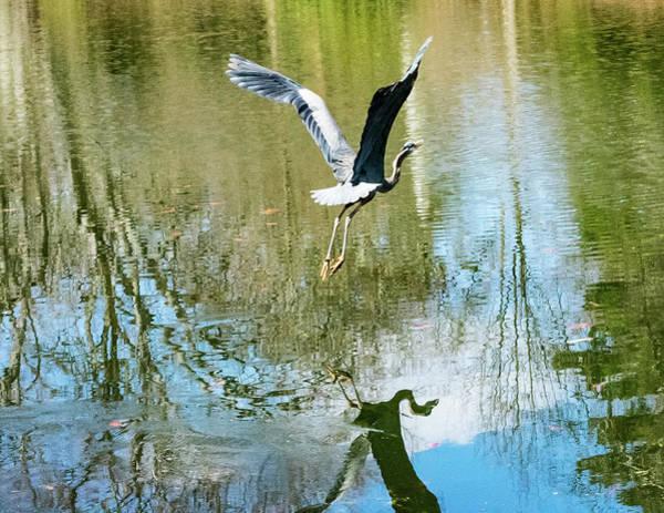 Photograph - Crane In Flight by Christina Maiorano