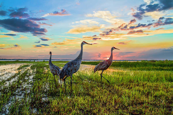 Photograph - Cranes At Sunset by Debra and Dave Vanderlaan