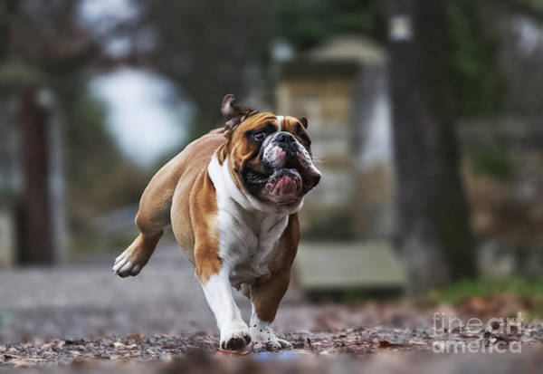 Wall Art - Photograph - Crazy English Bulldog Puppy Running by Best Dog Photo