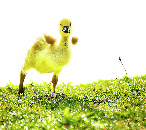 Babylon Photograph - Crazy Little Gosling by Vicki Jauron, Babylon And Beyond Photography