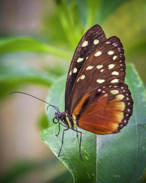 Photograph - Cream Spotted Tigerwing Jardin Botanico Del Quindio Calarca Colo by Adam Rainoff