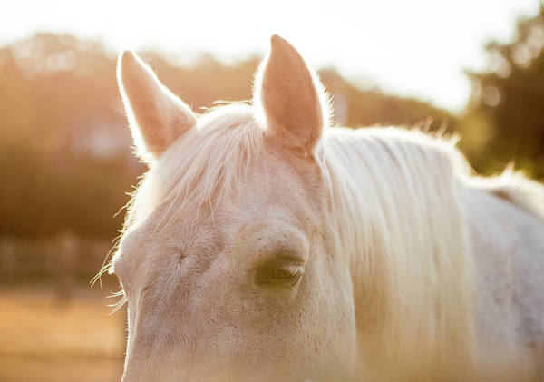 Wall Art - Photograph - White Horse In Evening Light by Stephanie McDowell