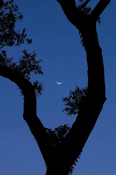 Wall Art - Photograph - Crescent Moon Through Tree by Bill Chambers