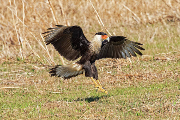 Photograph - Crested Caracara by Jim Vallee