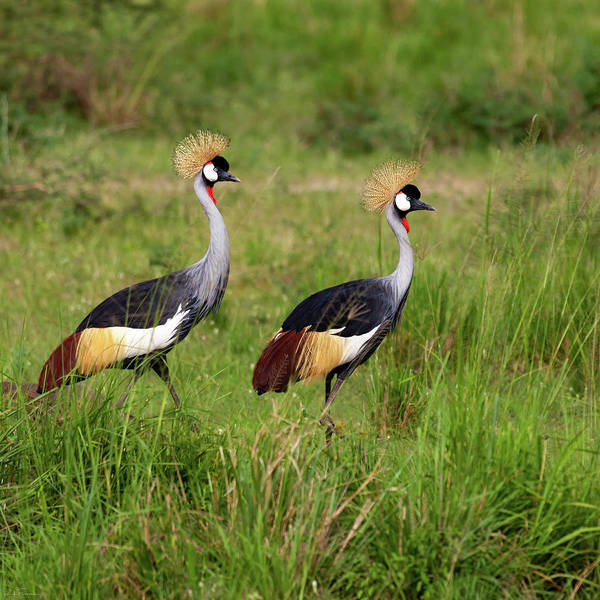 Photograph - Crested Cranes by Rick Furmanek