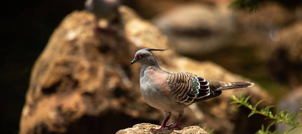 Photograph - Crested Pigeon by Rob D Imagery