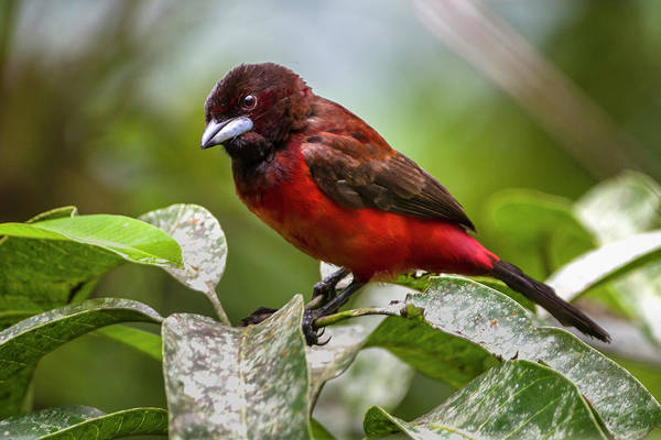 Photograph - Crimson-backed Tanager Entreaguas Ibague Tolima Colombia by Adam Rainoff