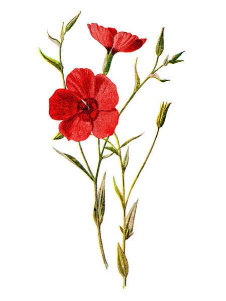 Mixed Media - Crimson Flax Flower by Naxart Studio