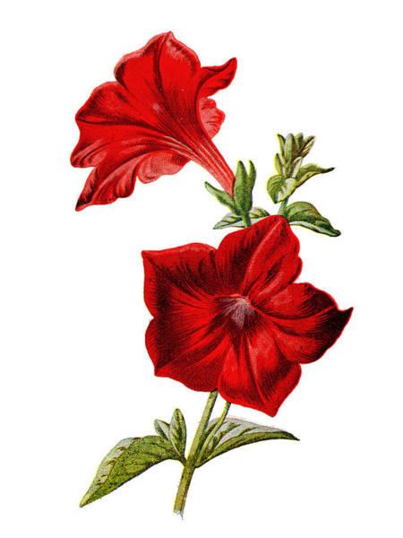 Mixed Media - Crimson Petunia Flower by Naxart Studio