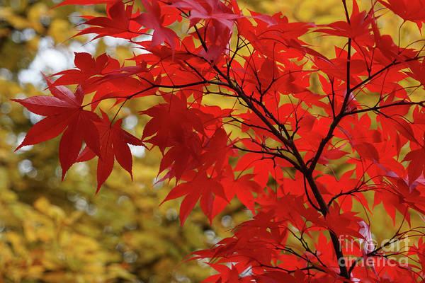 Photograph - Crimson Queen by Rachel Cohen