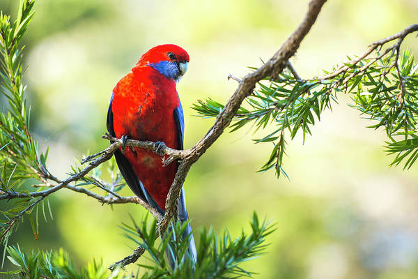 Photograph - Crimson Rosella by Rob D Imagery