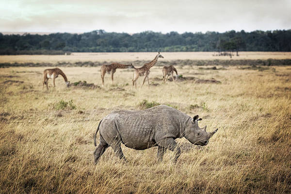 Wall Art - Photograph - Critically Endangered Black Rhino And Giraffe In Kenya by Susan Schmitz