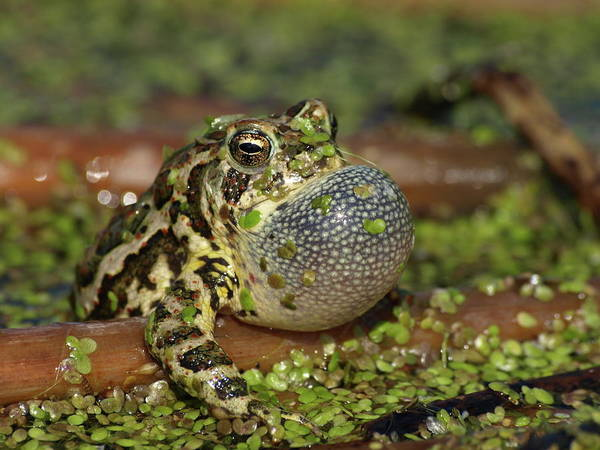 Photograph - Croaking Canadian Toad by James Peterson