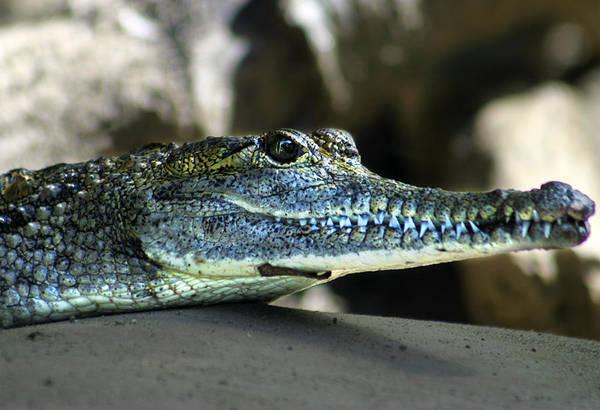 Photograph - Crocodile by Anthony Jones