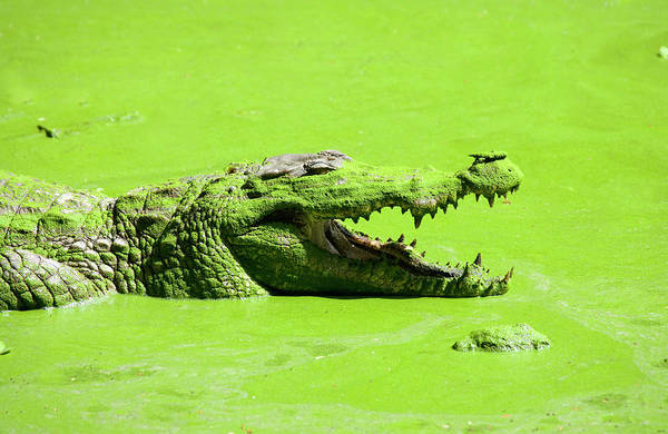 Open Photograph - Crocodile In African Pool by Michael Leach