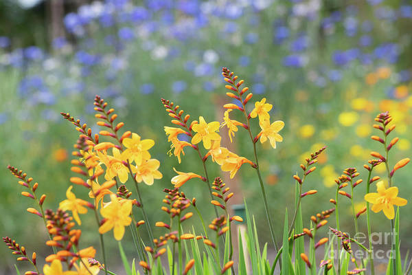 Wall Art - Photograph - Crocosmia Buttercup Flowers by Tim Gainey