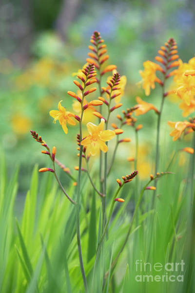 Wall Art - Photograph - Crocosmia Buttercup In Flower  by Tim Gainey