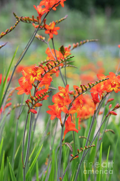 Wall Art - Photograph - Crocosmia Firestars Scorchio Flowers by Tim Gainey