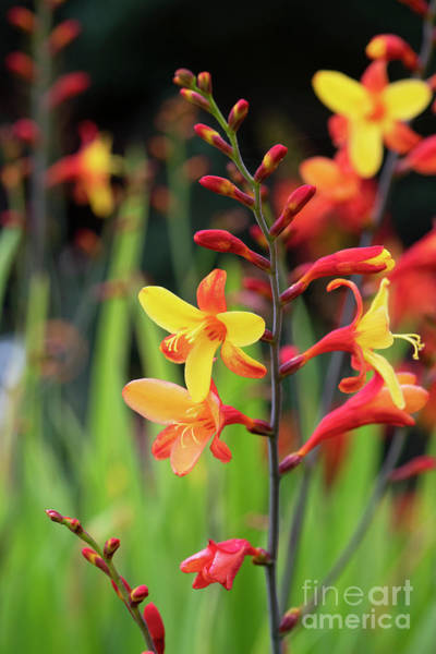 Photograph - Crocosmia Harlequin Flower by Tim Gainey