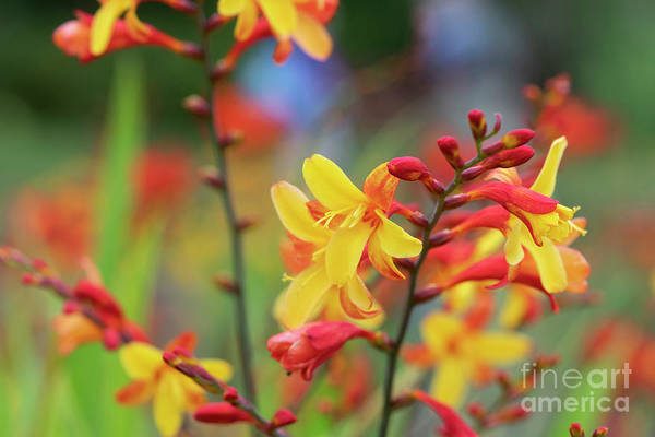 Photograph - Crocosmia Harlequin by Tim Gainey