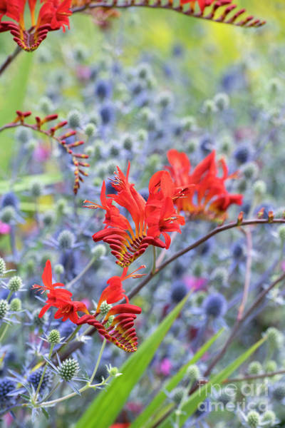 Photograph - Crocosmia Lucifer Against Sea Holly by Tim Gainey
