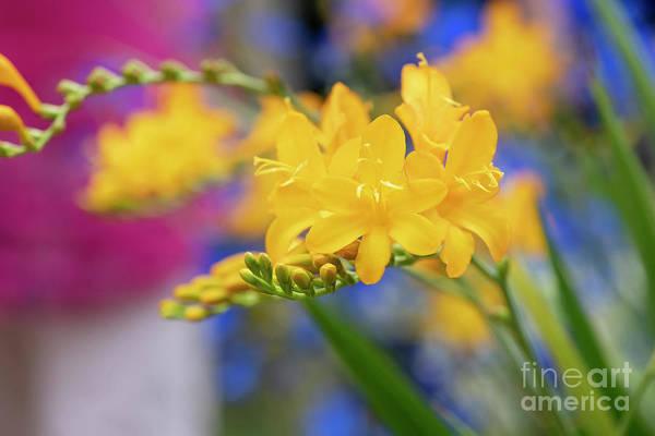 Photograph - Crocosmia Pauls Best Yellow by Tim Gainey