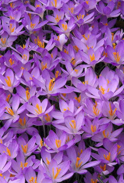 Texture Photograph - Crocus, Crocus Sp, Pattern In Flowers by Adam Jones
