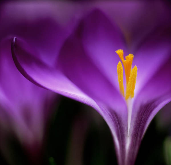 Wall Art - Photograph - Crocus Crysanthus Eye Catcher Extreme by James A. Guilliam