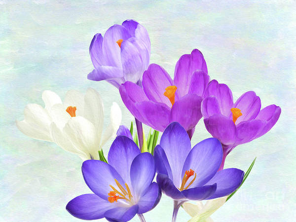 Wall Art - Photograph - Crocus Flowers by Laura D Young