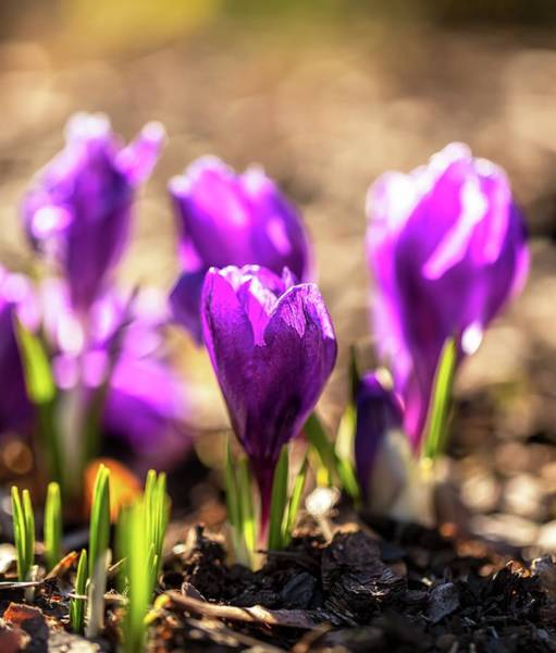 Photograph - Crocus In Harmony by Rose-Marie karlsen