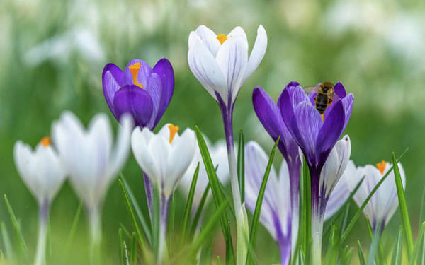Photograph - Crocuses by Framing Places