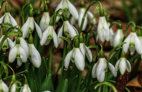 Wall Art - Photograph - Snowdrops In Spring I by Kathi Isserman