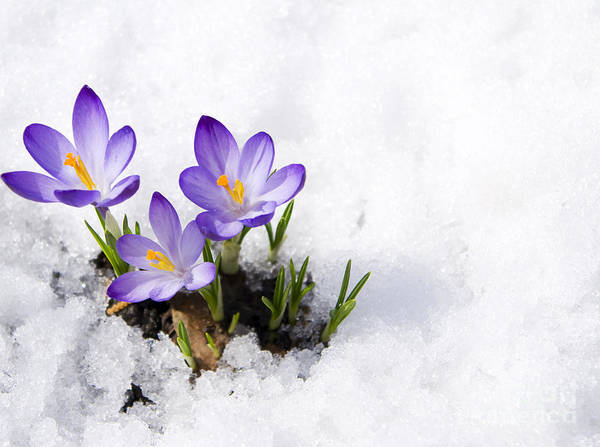 Wall Art - Photograph - Crocuses In Snow by Volkova Irina
